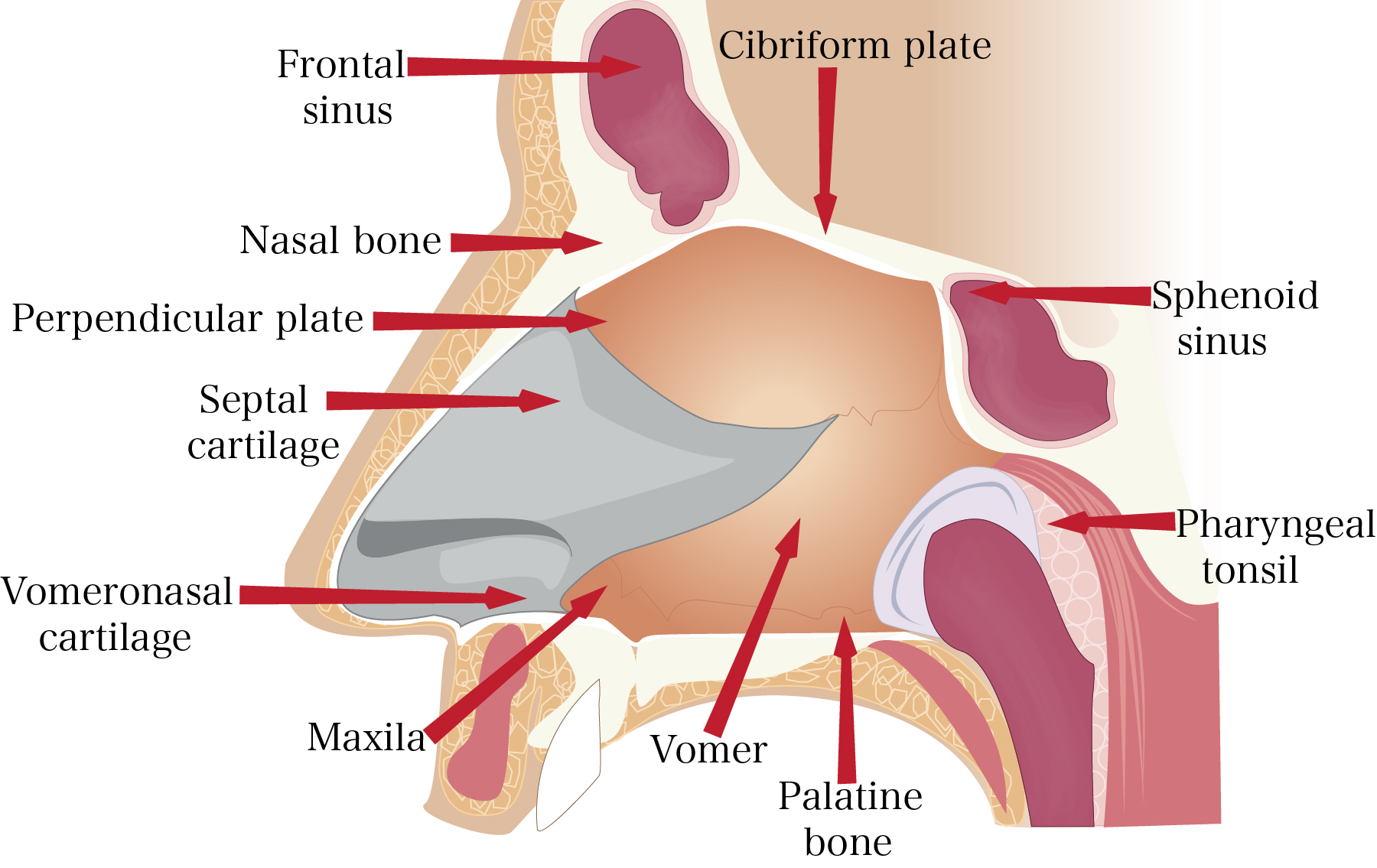 anatomy of the nose | internal and external nasal structure, Cephalic Vein